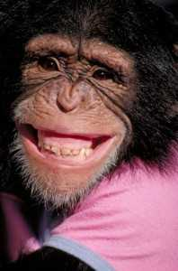 Grinning Chimp 198x300 Dangers of Untreated Sleep Apnea